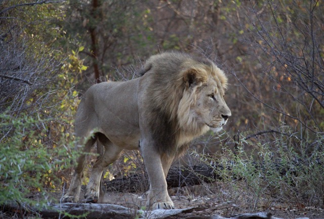 Lion, Mazunga Safaris, Bubye Conservation