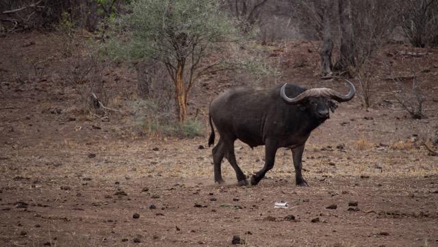 Buffalo, Mazunga Safaris, Bubye Valley Conservancy